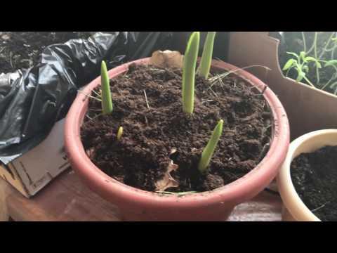 Моя рассада в феврале ( томаты , хризантемы первые всходы , тюльпаны на выгонку )