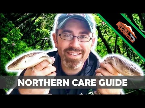 Captive Care For Northern Blue Tongue Skinks - Ep. 66