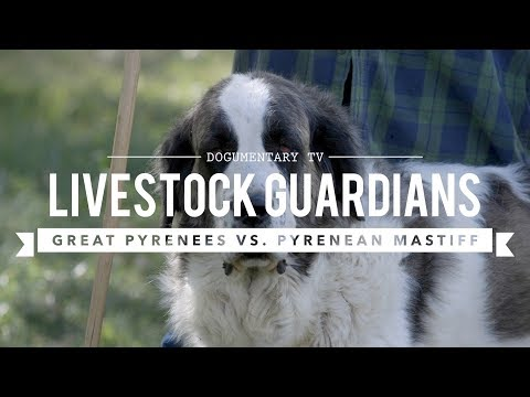 LIVESTOCK GUARDIANS: GREAT PYRENEES AND PYRENEAN MASTIFFS