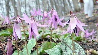 薄紫に色づくカタクリ見頃 真駒内公園