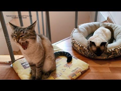 Не так-то просто вырваться из объятий морфея тайским котикам! Тайские кошки - это чудо! Funny Cats