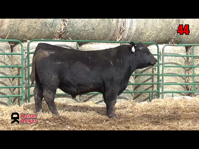 Kaiser Angus Ranch Lot 44