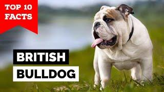British Bulldog  Top 10 Facts