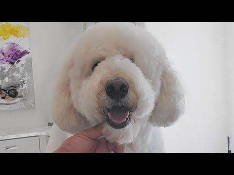 Teddy Bear Trim On A Poodle