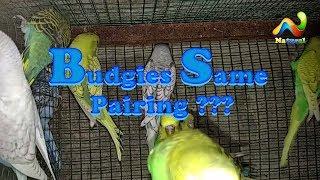 kya  Same Budgies Pair ke bacho ki pairing (jor) lagna Thek He kay Nahi   Budgies Parrot Pairing