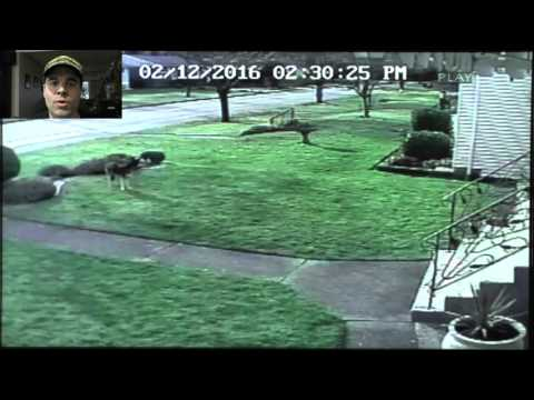 Coyote In My Front Yard - Burnaby