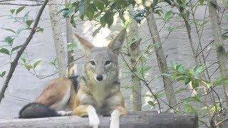 セグロジャッカル,上海動物園,Black-backed jackal,Shang Hai Zoo,China,中華人民共和国,黑背胡狼,上海动物园