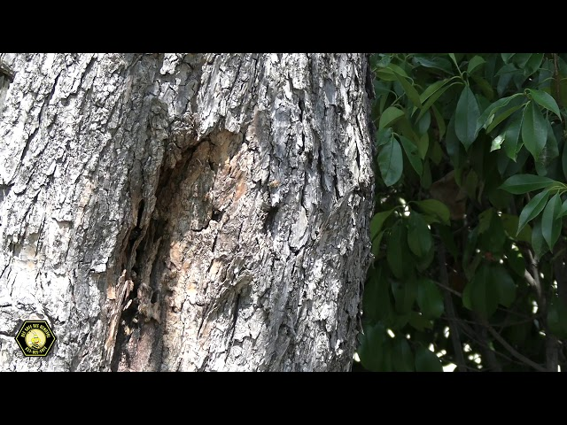 Bee hive inside of a tree- Grand Prairie