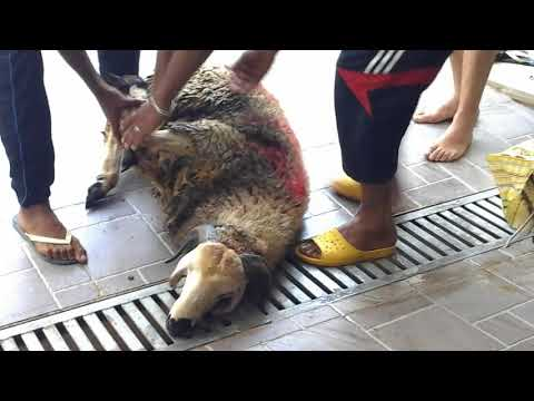 egorgement du mouton au maroc Part 2