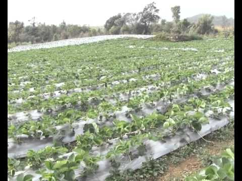 A DOCUMENTARY ON MANAGEMENT AND POST HARVESTING TECHNOLOGY AND MARKETING OF STRAWBERRY CULTIVATION