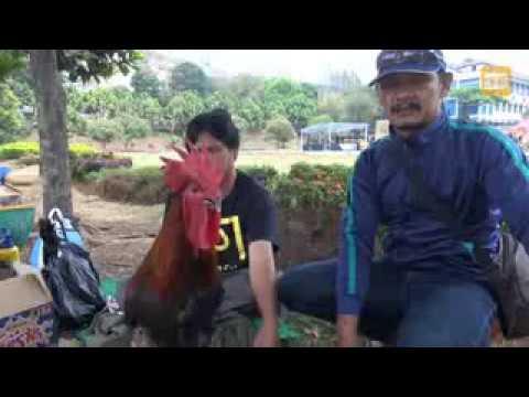 Ayam Pelung Juara Piala Rektor Unpad