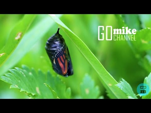 Monarch Butterfly Hatching From Chrysalis in Real Time