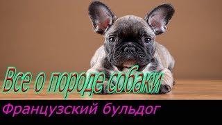 Французский бульдог описание породы! Все о породе собаки!