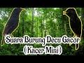Suara Burung Decu Gacor Kacer Mini  Mp3 - Mp4 Download