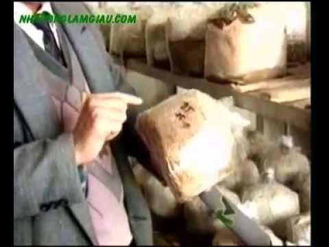 Nhanonglamgiau.com - Kỹ thuật trồng nấm Linh Chi
