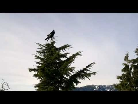 raven calls - in Vancouver on Mt. Seymour