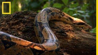 Le boa constrictor, un des serpents les plus rapides au monde