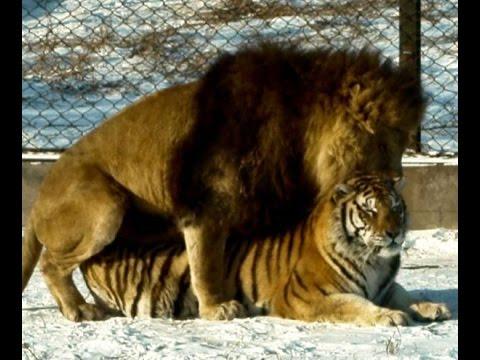 Harbin Siberian Tiger Park (Ligers too!)