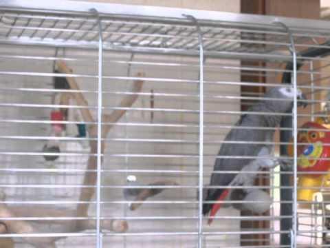 manus de papegaai kan niet stoppen met praten.......