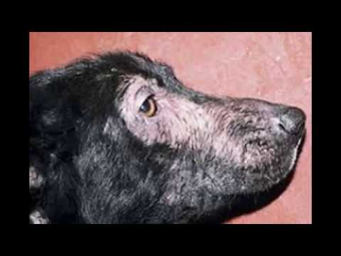 Dog Allergies. Atopic Dermatitis