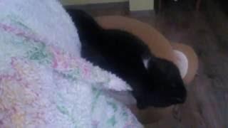 Попытки кота уснуть в капюшоне