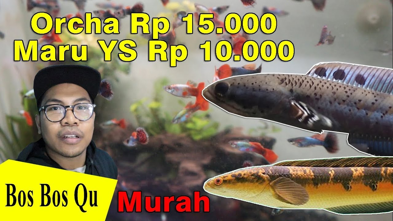Murah Banget Beli Glosir Anakan Channa Di Heva Ikan Hias Jogja Youtube