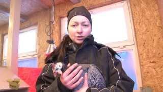 TEST.TV: Цесарки это не только красивые перья, но и диетические яйца!