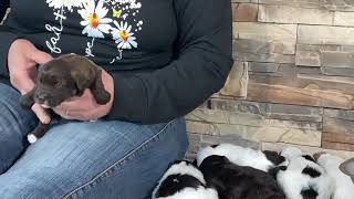 Sugar's Schnoodle puppies  This litter is SOLD   May 3, 2021