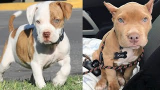 ADORABLE AMERICAN PIT AND BULLY BABIES