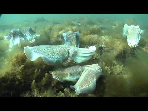 Giant Australian Cuttlefish (Sepia Apama) Mating Behaviors
