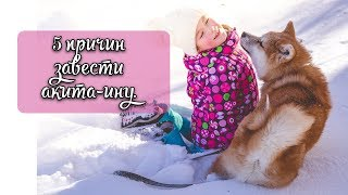 5 причин, зачем вам собака акита-ину