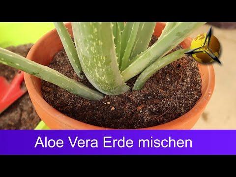 Aloe Vera Erde - Sukkulentenerde selber mischen
