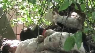 результаты препарата АСД фракция 2 на цыплятах