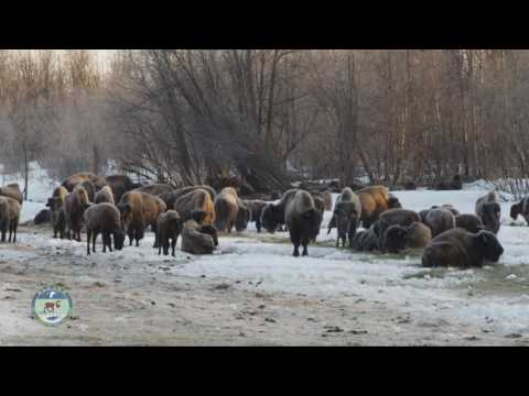 Historic Bison Release in Alaska