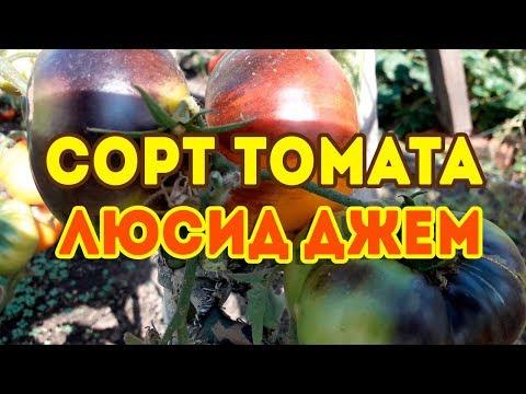 Сорт томата Люсид Джем! Обзор томата | томатов_2020 | урожайные | томатов | рассаду | продажа | помидор | томаты | томата | семена | сорта