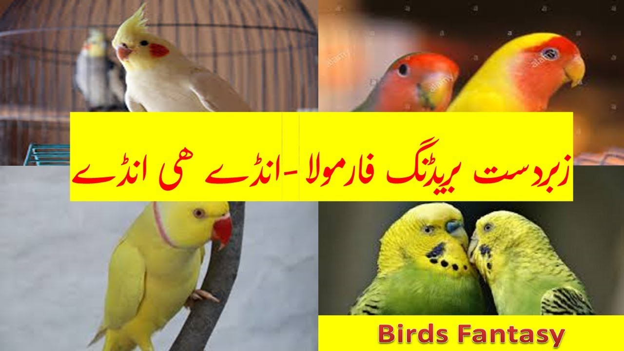 Love Bird Gentics - K&M Breeding