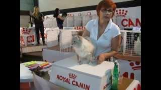 Международная выставка (невский маскарадный кот)