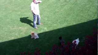 Shih Tzu Vs Pomeranians