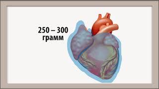 Анатомия сердца. Общие сведения.