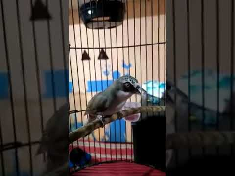 Kicau Gacor Burung Opior Paruh Tebal