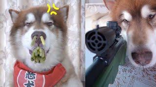 神犬路虎  神犬豆豆   狗救主人 ,金毛的性格大多数都是非常温顺的聪明的狗对人类的生活友好 #8