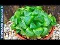 - 10 Variedades hermosas de Haworthia