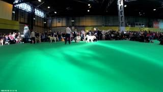 Crufts 2016 Italian Spinone Dog CC