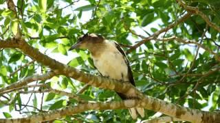 Juvenile Pied Butcherbird (Cracticus nigrogularis) / Schwarzkehl-Krähenwürger [Jungvogel] - 2