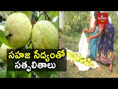Natural Farming | Organic Guava Cultivation - Success Story | hmtv Agri