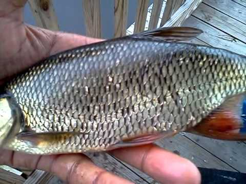 Golden Shiner on Patuxent Research Refuge