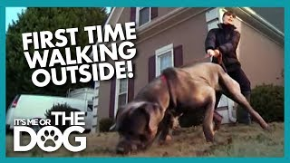 Mastiff Discovers Outside World For The First Time | It's Me or the Dog