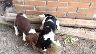 Training Beagle Puppies For Rabbit Hunting