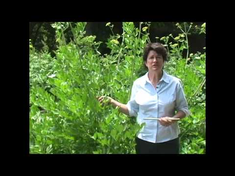 Lovage: Growing, Harvest and Use - Millcreek Herbs