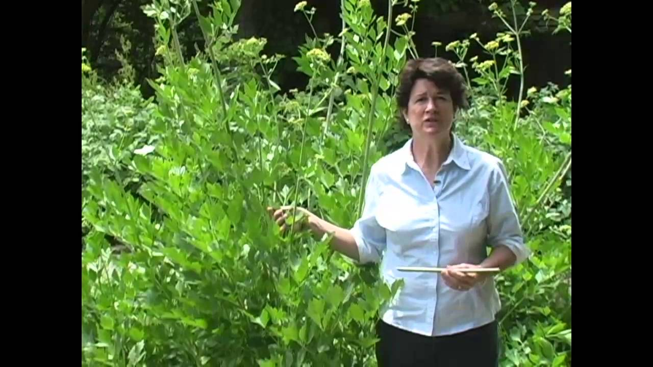 The 9-Minute Rule for Cropped: How To Grow Lovage - Modern Farmer